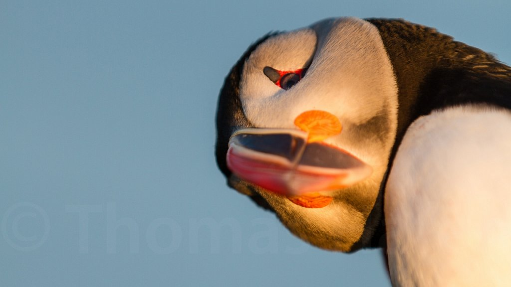 Papageitaucher - Puffin