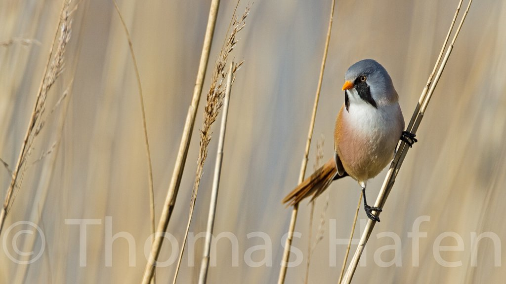 Bartmeise - Bearded Parrotbill